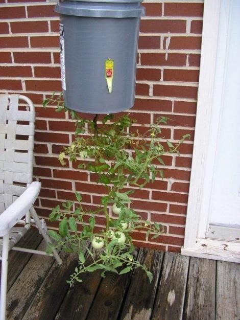 hanging bucket tomato plants, five gallon bucket planter