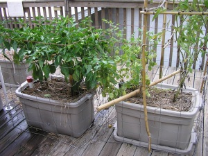 EarthTainers, containers for growing tomatoes,