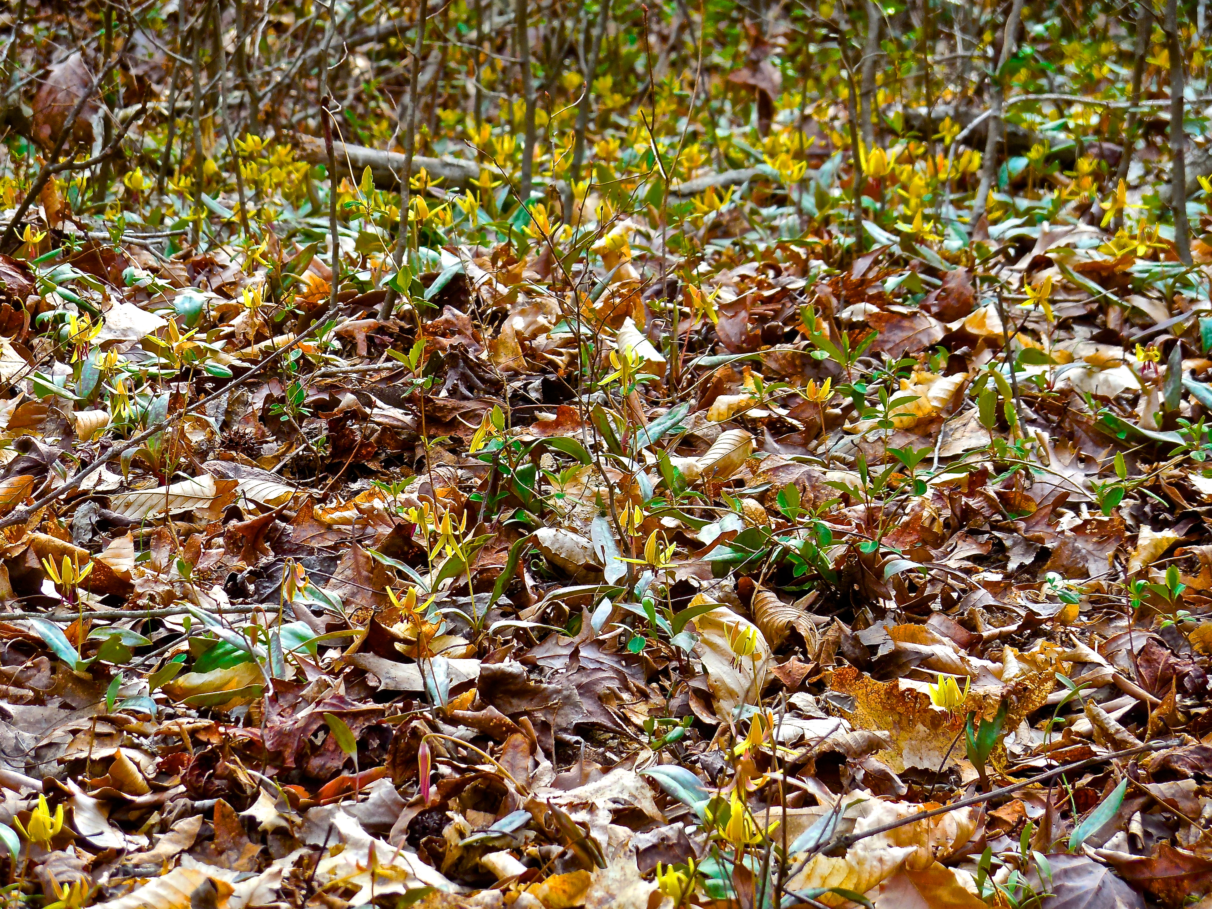 Foraging feral food trout lily survival sherpa foraging feral food the trout lily izmirmasajfo Gallery