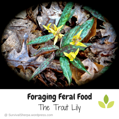 Foraging Feral Food: The Trout Lily