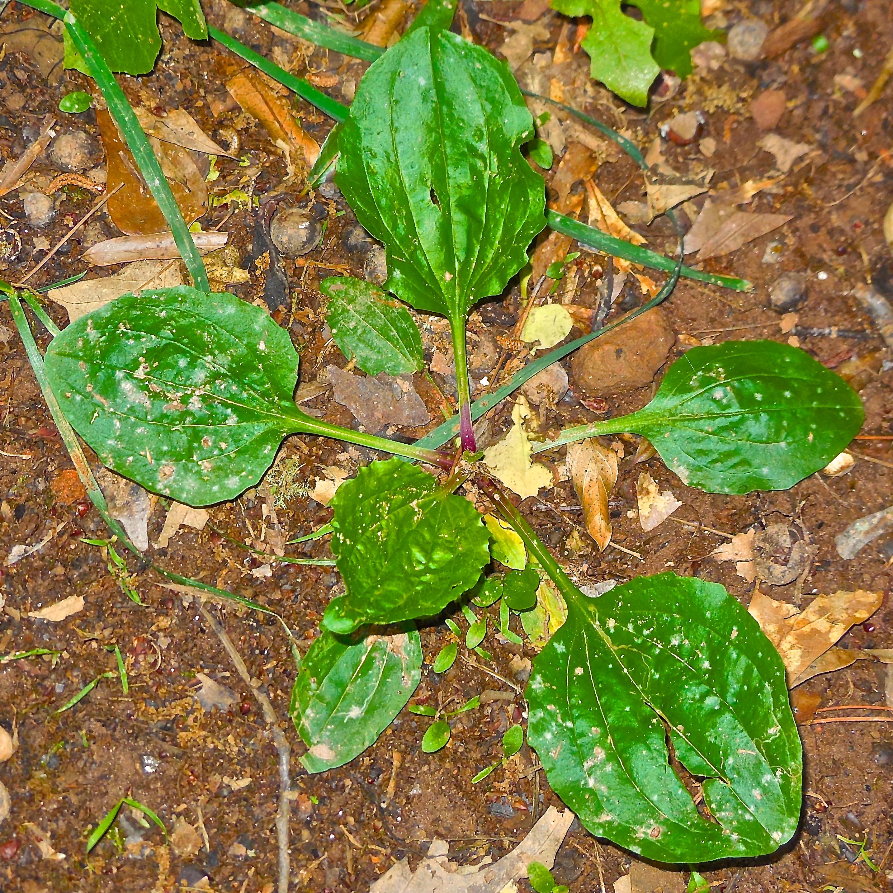 herbal remedies survival sherpa