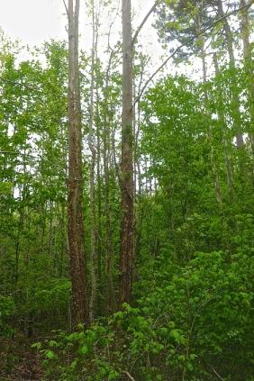 tree-hugger-self-reliance-uses-american-sycamore