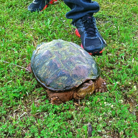 This snapping turtle is next to a size 12 shoe for comparison