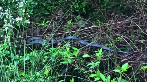 Didn't get close enough to identify this one but we think it was a Black Racer (Coluber constrictor) by its behavior