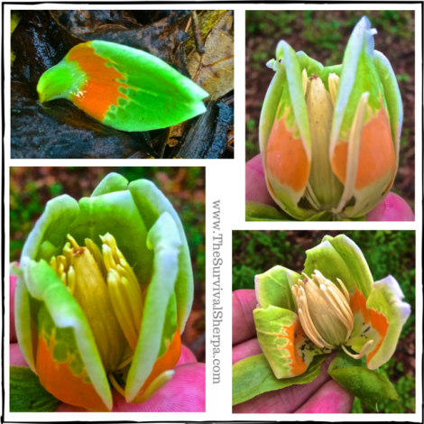 Tulip Poplar- A Rich Resource for Year-Round Wilderness Self-Reliance - www.TheSurvivalSherpa.com (1)