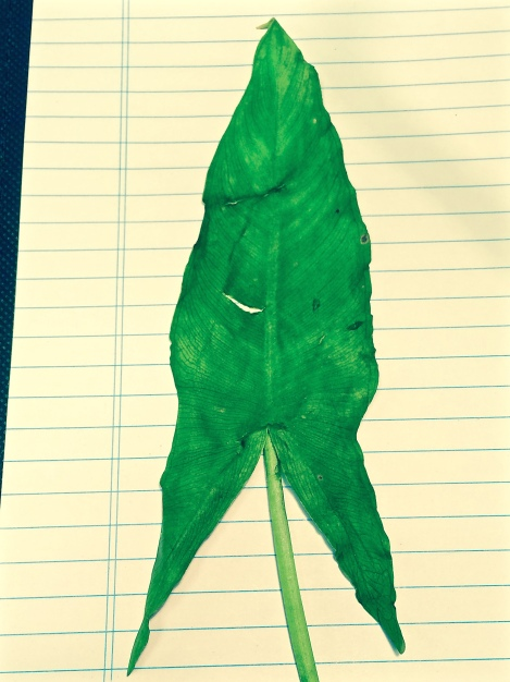 A look at the entire Arrow Arum leaf