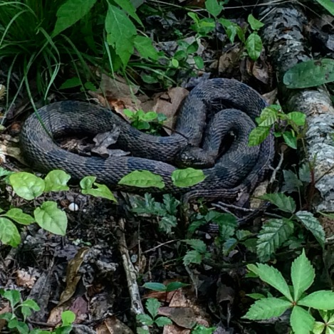 This water snakes is often times falsely accused of being a water moccasin.