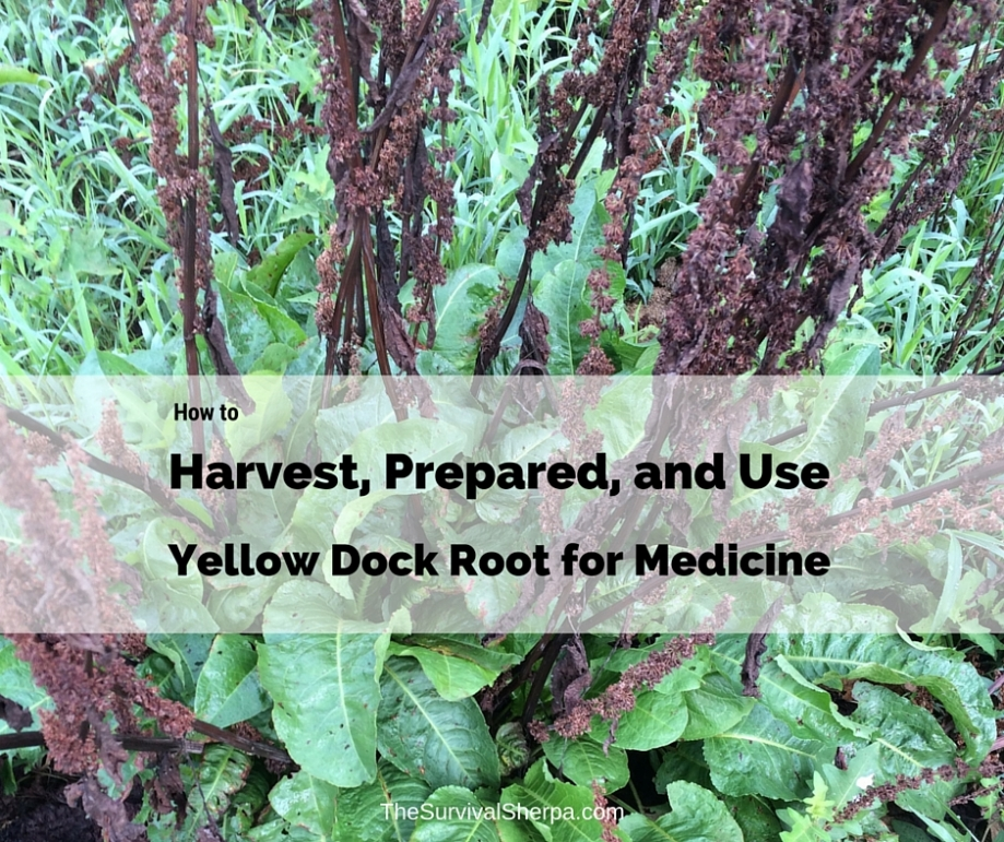 How to Harvest, Prepare, and Use Yellow Dock Root for Medicine - TheSurvivalSherpa.com